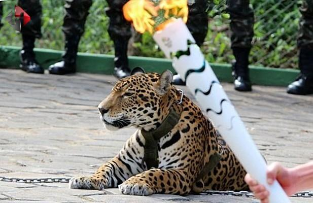 Brezilya'da, törende tasmasından kurtulan jaguar öldürüldü