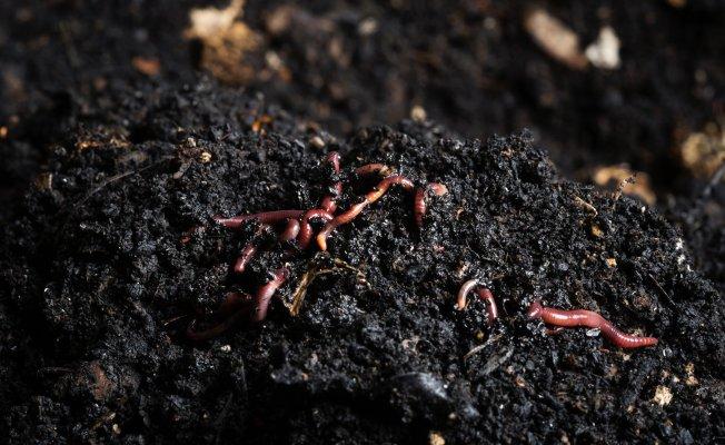 Tarım'a destek solucanları'nın üretiminde büyük artış!