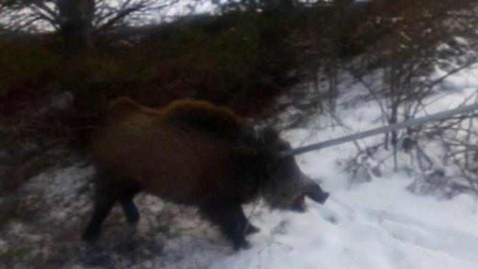 Üniversitede yaralı domuz yakalandı