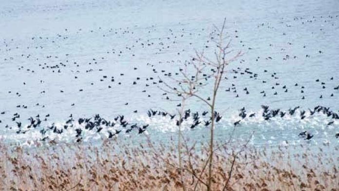 Sakarya'da Su Kuşlarının Sayımı Yapıldı