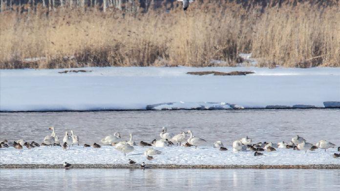 Van Gölü'nün kış misafirleri 'beyaz kuğular'