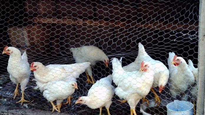 Tavuk yumurtası üretimi verileri açıklandı