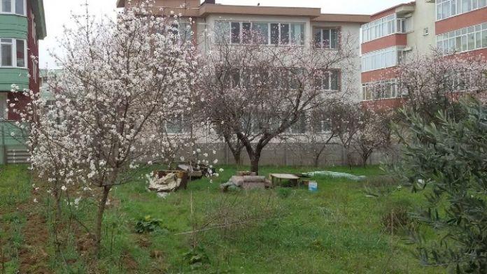 Bandırma'da Kış Ortasında Ağaçlar Çiçek Açtı