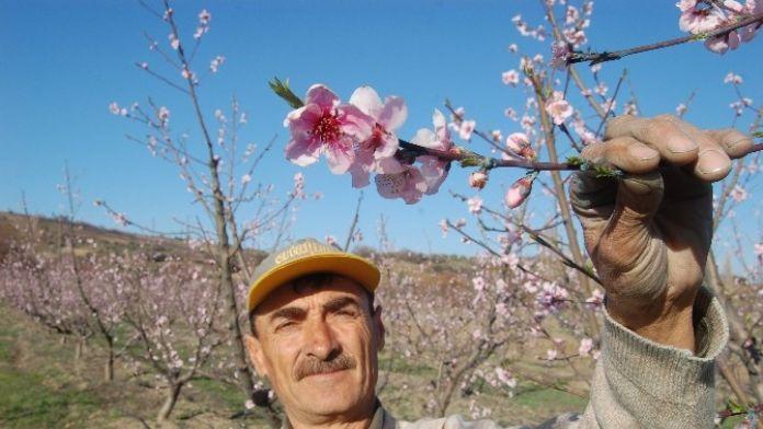 Lapseki İlçesinde Meyve Ağaçları Çiçek Açtı
