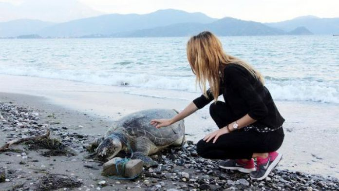 Another dead ceratta caretta hit on the head washes ashore