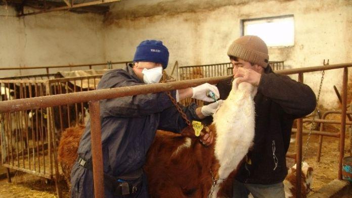 Düzce'de 22 Bin 365 Hayvana Aşı Yapıldı