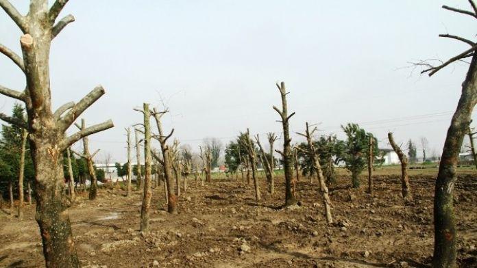 Tramvay Hattından Sökülen Ağaçlar Rehabilite Ediliyor