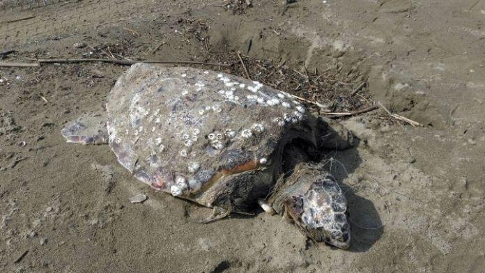 Misinalara Dolanmış Ölü Caretta Caretta Kıyıya Vurdu