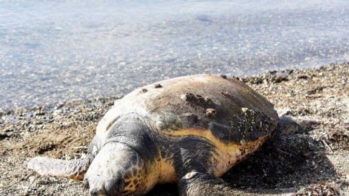 Aliağa Sahilinde Ölü Caretta Caretta Bulundu