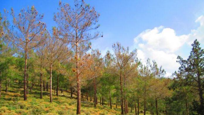 Ormanlık alanı önce yangın şimdi ise ilgisizlik kurutuyor