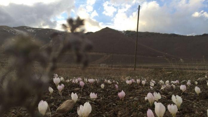 Pasinler'de Baharın Müjdecisi Kardelenler Açtı