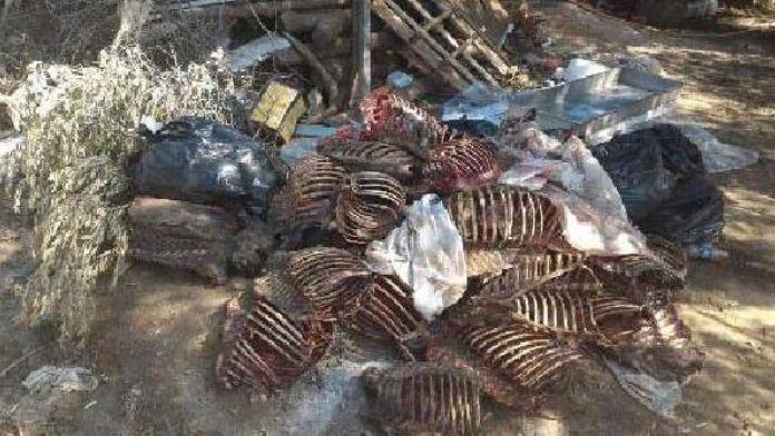 Aydın'da kaçak domuz avına 2 gözaltı