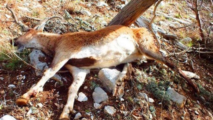 Antalya'da Kaçak Avcı Vahşeti