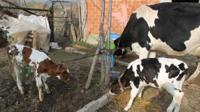 İcradan satılık inekler !