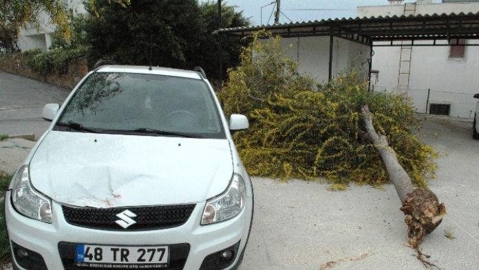 Bodrum'da Fırtına Ağacı Kökünden Söktü