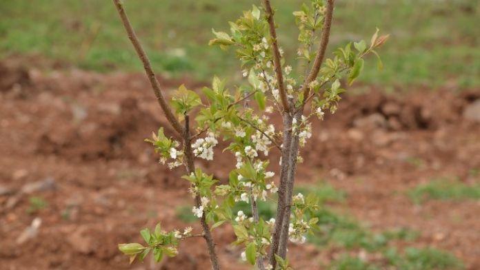 Meyve Bahçeleri İlk Ürününü Bu Yaz Verecek