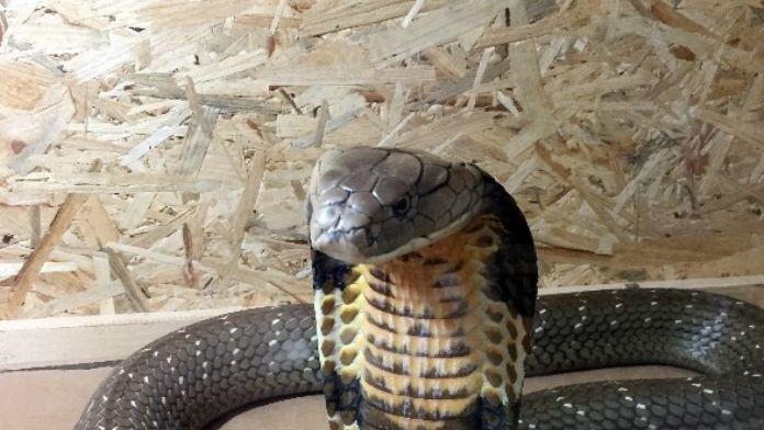 Kral Kobra, Adrenalin Dünyasında