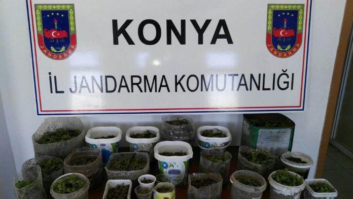 Konya'da 450 kök Hint keneviri ele geçirildi