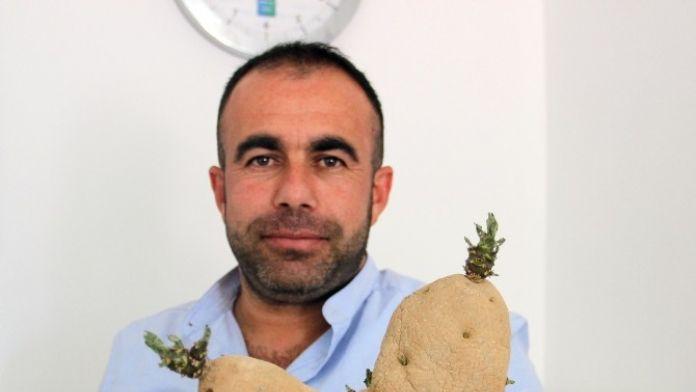 Kaktüs Görünümlü Patates İlgi Çekiyor