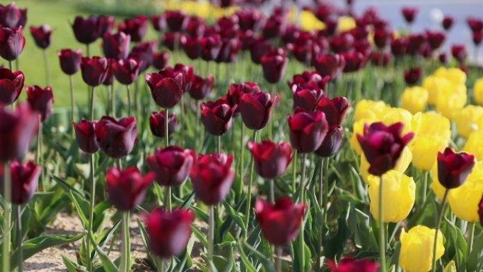 100 Bin Lale Kırklareli'ni Renklendirdi