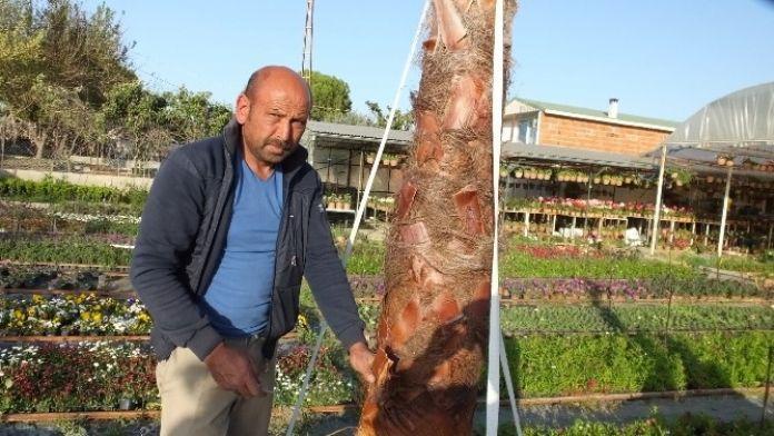 Palmiye Berberi