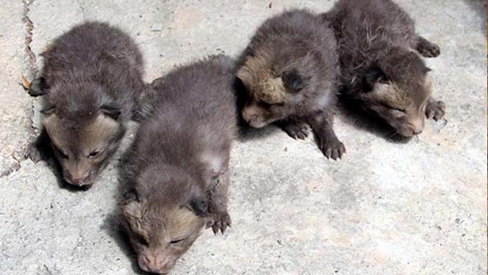 Eve giren tilki dördüz doğurdu