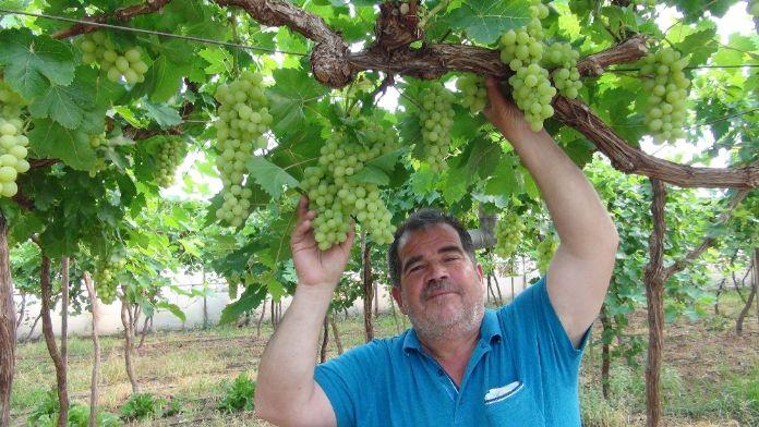 Mersin'de ilk üzüm hasadı: 15 TL'den alıcı buldu
