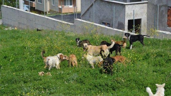 Sokak Köpekleri Vatandaşları Tedirgin Etti
