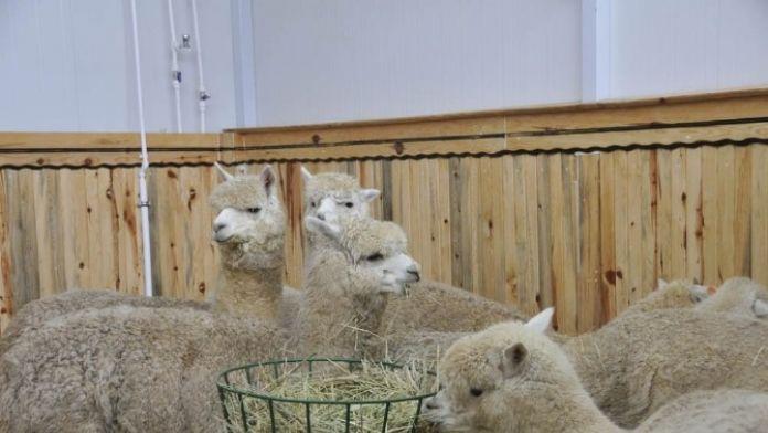 Rektör Şahin: '500 Alpakanın Yetiştirilebileceği Bir Çiftlik Planlıyoruz'
