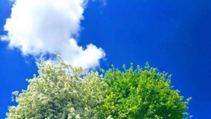 Yarısı Alıç Yarısı Armut Olan Ağaç Görenleri Şaşırtıyor
