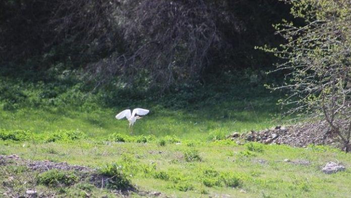 AK Balıkçıl Kuşları Hakkari'de Görüntülendi