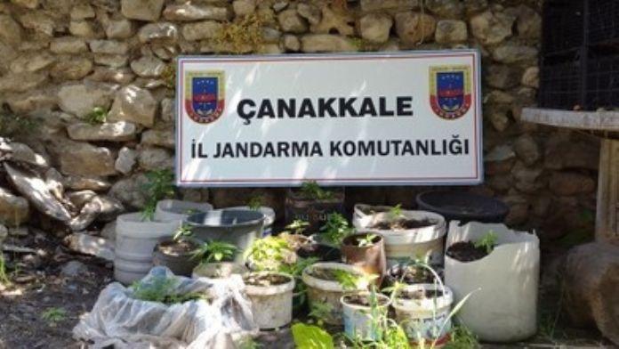 Çanakkale'de 282 Kök Keneviri Ele Geçirildi