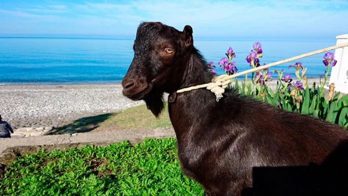 Rusya'da keçiye verilen isim tartışmalara yol açtı
