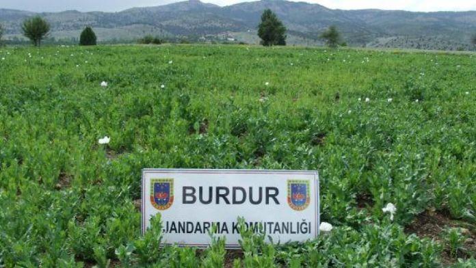 Burdur'da 500 bin kök kaçak haşhaş bitkisi ele geçirildi