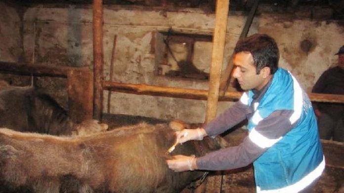 Hisarcık'ta şap karantinası