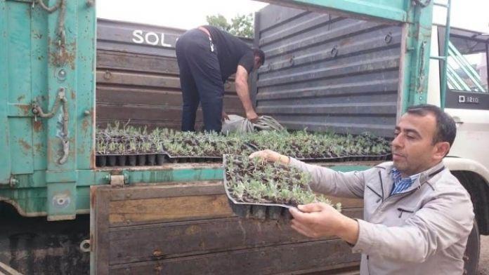 Beyşehir'de Lavanta Bitkisi Deneme Üretimi Yapılıyor