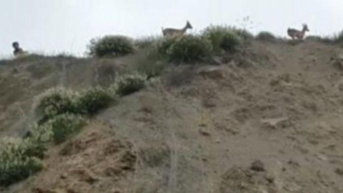Tellere Takılan Dağ Keçilerini Çocuklar Kurtardı