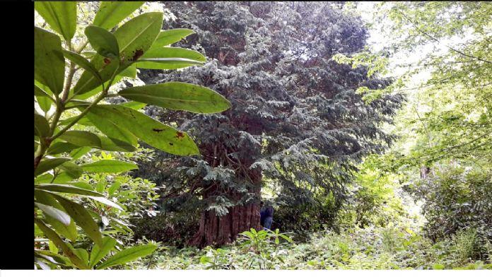 Dünyanın en yaşlı porsuk ağacı 'tabiat anıtı' olacak