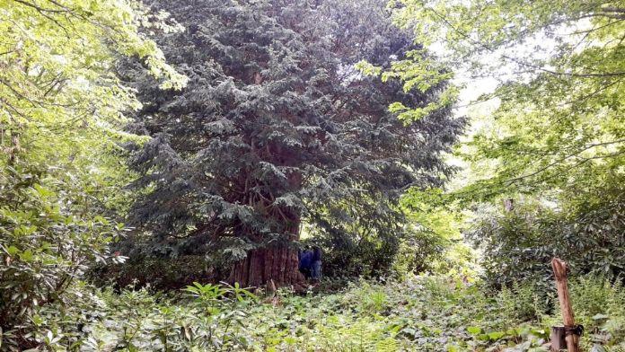 Dünyanın en büyük beşinci ağacı Türkiye'de