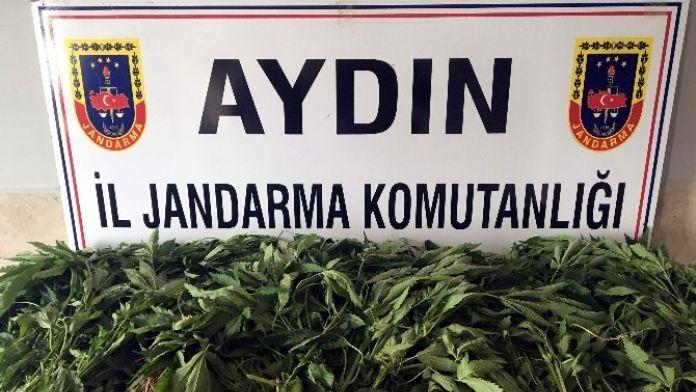 Aydın'da 125 Kök Kenevir Bitkisi Yakalandı