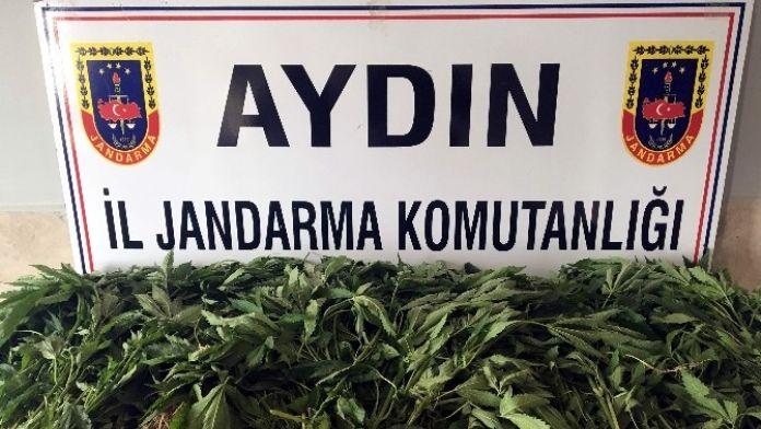 Aydın'da Yasa Dışı Ekim Operasyonu