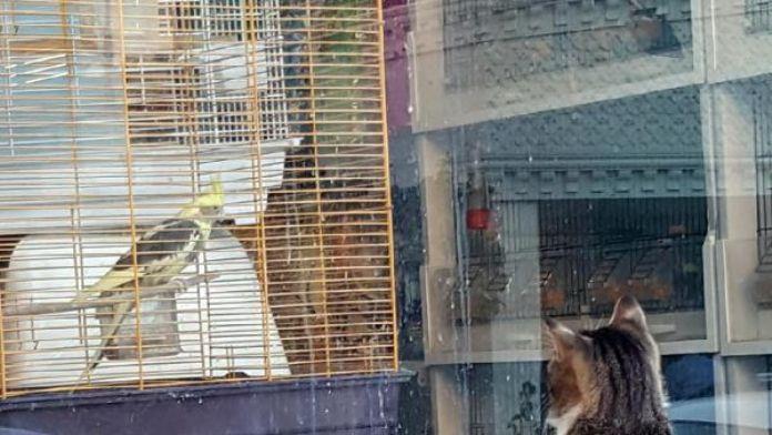 Kedinin , kafesteki papağana bakışı