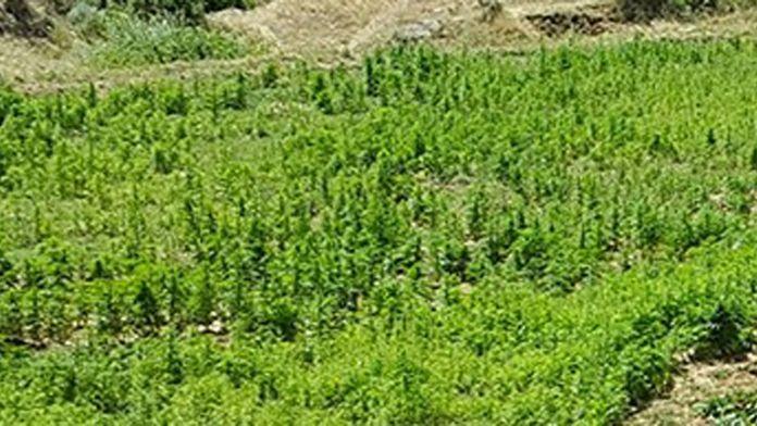 Ayçiçeği tarlasında 146 bin kök Hint keneviri