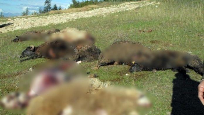 Haymana'da Sürüye Saldıran Kurtlar 70 Koyunu Telef Etti