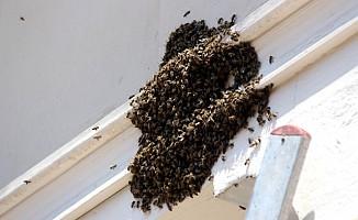 Samsun'da kovandan kaçan kraliçe arı panik yaşattı
